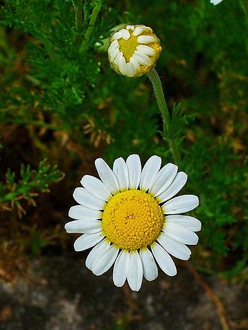 Fleurs de Camomille romaine ou noble : plante qui dispose de nombreuses vertus médicinales.