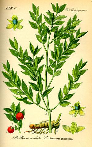 Petit houx (fragon) : arbuste employé en phytothérapie pour ses vertus et bienfaits.