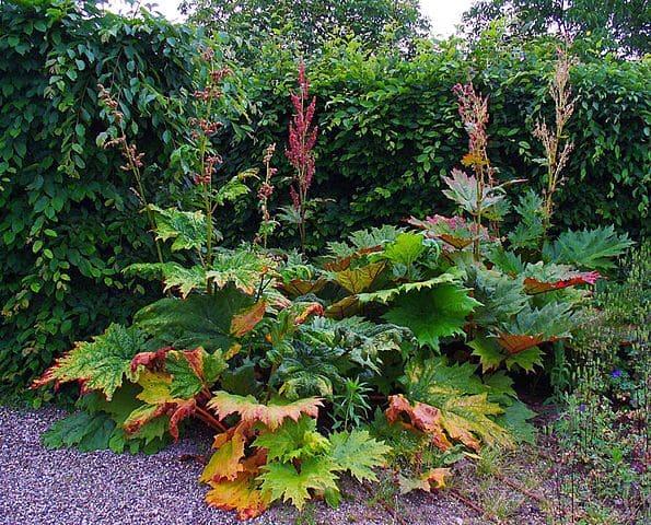 Rhubarbe (Rheum palmatum): plante médicinale aux nombreux bienfaits et vertus.