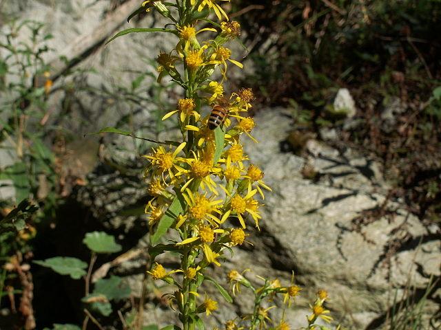 Verge d'or (Solidago Virgaurea): plante utilisée pour ses bienfaits et propriétés médicinales.