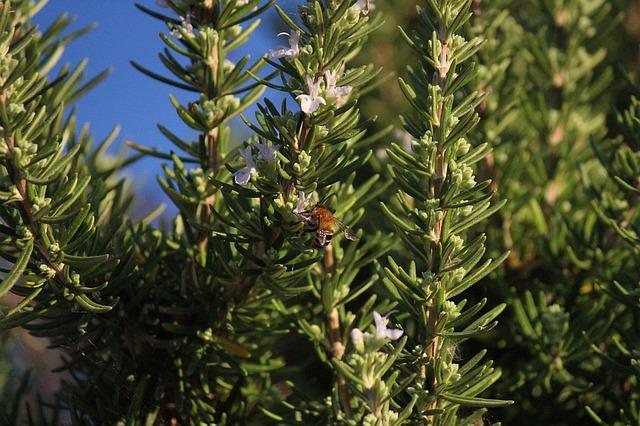 Romarin ( Rosmarinus Officinalis): arbrisseau qui présente de nombreuses vertus médicinales.