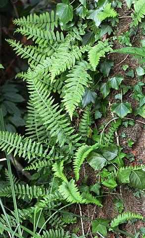 Polypode commun (Polypodium vulgare): plante qui offre de nombreuses propriétés médicinales.