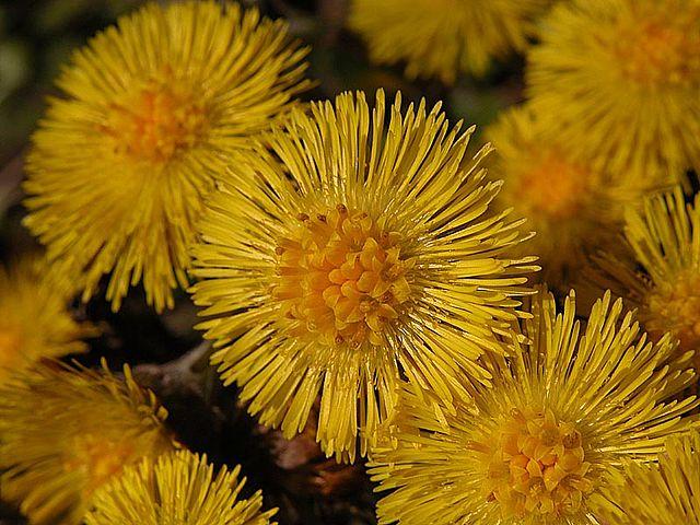 Tussilage (Tussilago farfara): danger et vertus de cette plante médicinale.