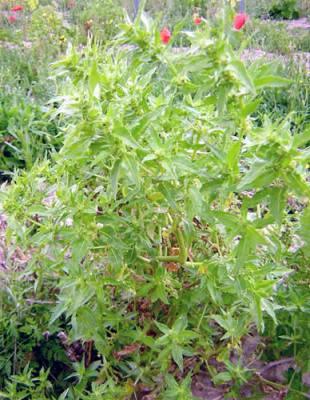 Mercuriale annuelle (Mercurialis annua): plante utilisée en phytothérapie pour ses propriétés médicinales.