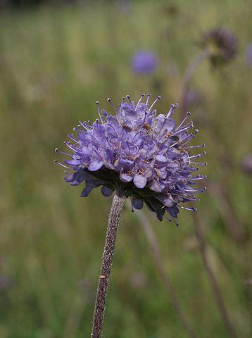Scabieuse des Bois (Succisa pratensis): plante qui présente des propriétés médicinales intéressantes.