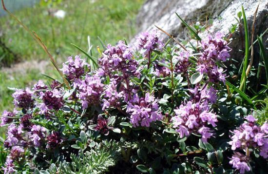 Serpolet (Thymus serpyllum); plante médicinale qui présente de nombreux bienfaits.