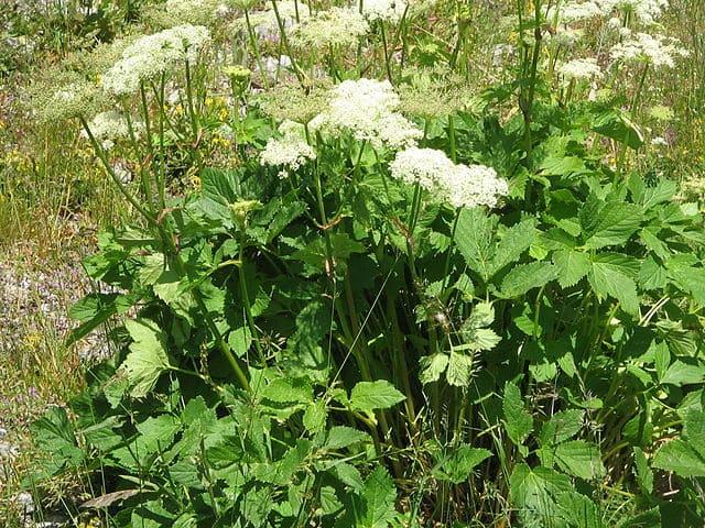 Impératoire (Peucedanum ostruthium): plante qui présente de nombreuses propriétés médicinales.