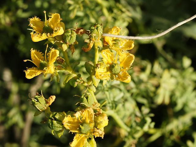 Rue d'Alep (Ruta Chalepensis): plante médicinale aux vertus thérapeutiques intéressantes.