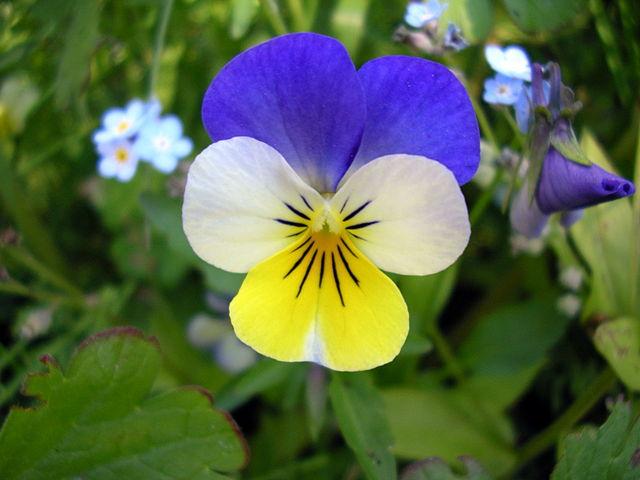 La Pensée, un élixir floral contemporain, élaboré selon la méthode du Dr Bach.