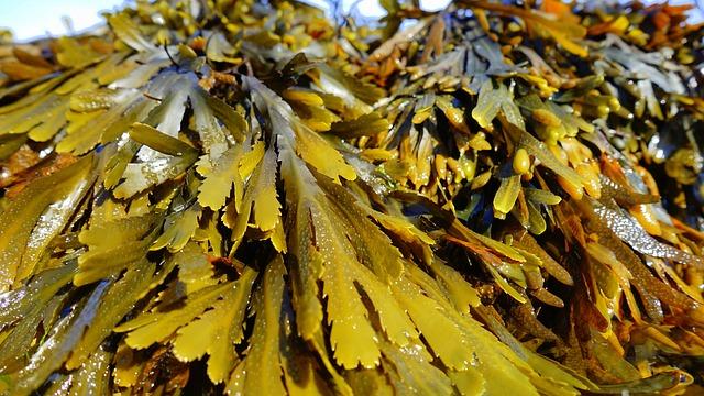 Mousse de Corse (Alsidium helminthocorton): algue marine utilisée pour son action vermifuge.