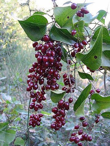 Salsepareille (Smilax aspera): plante médicinale qui dispose de nombreux bienfaits et vertus.
