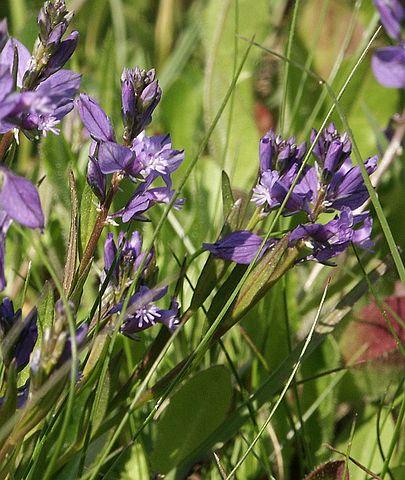Polygala Vulgaris : plante médicinale utilisée en phytothérapie.