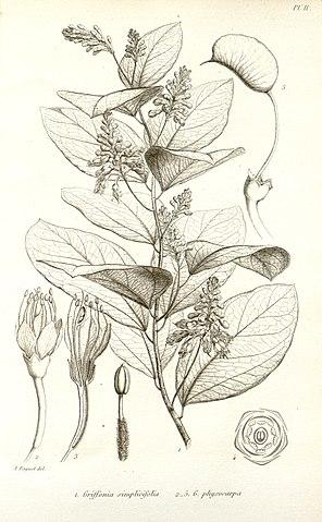 Griffonia : quels sont les dangers et effets secondaires de cette plante?