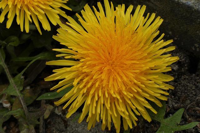 Pissenlit (Taraxacum officinale): plante qui offre de nombreux bienfaits et vertus pour la santé.