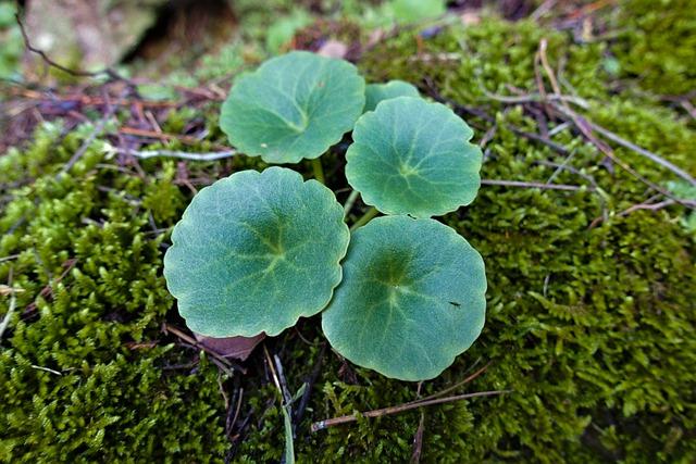 Nombril de vénus (Umbilicus rupestris): plante comestible et médicinale.