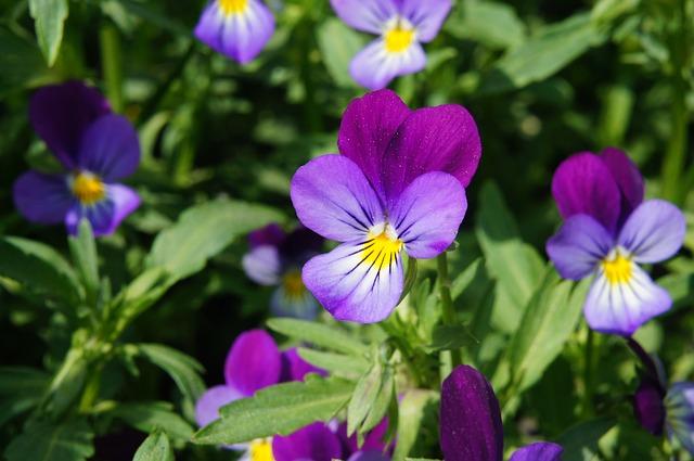 Pensée sauvage (Viola tricolor): plante médicinale qui présente de nombreux bienfaits.