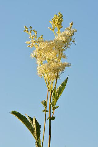 Reine-des-prés (Filipendula ulmaria): plante utilisée en phytothérapie pour ses nombreux bienfaits.