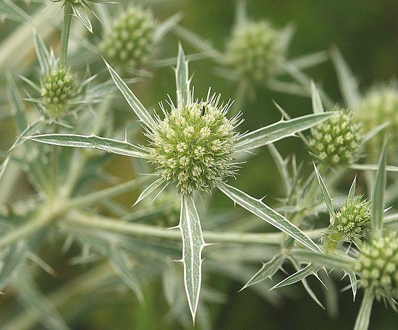 Panicaut champêtre (Eryngium campestre) : plante médicinale et comestible.