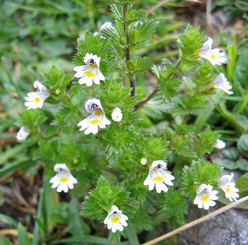 Euphraise (Euphrasia officinalis) : bienfaits et propriétés de cette plante médicinale.