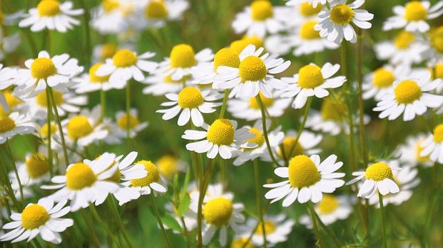 L'élixir floral de Camomille, élaboré selon les recommandations du docteur Erdward Bach.
