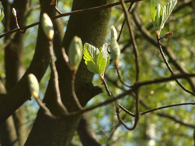 Vertus et bienfaits du bourgeon de chêne.