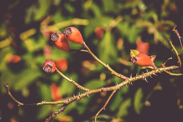 Églantier (gemmothérapie) : bienfaits et utilisation de ses bourgeons.