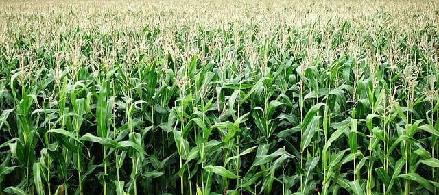 Maïs : bienfaits et utilisation en gemmothérapie.