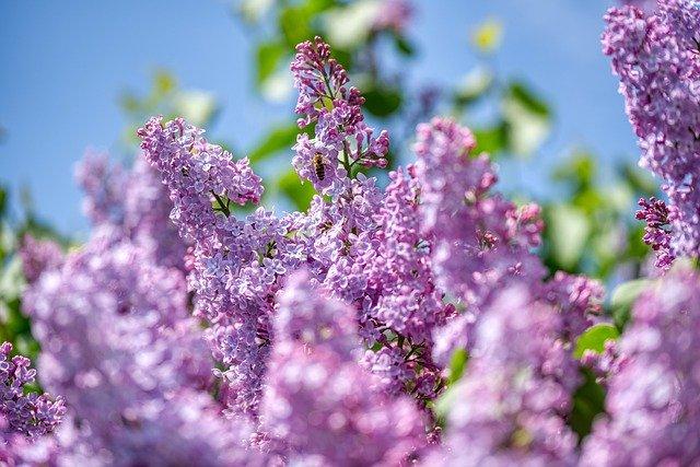 Lilas : le bourgeon de lilas offre de nombreux bienfaits pour la santé.