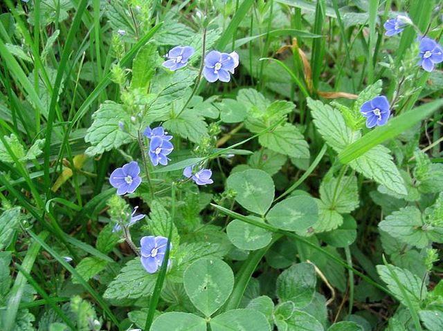 Véronique petit-chêne (Véronica chamaedrys): plante utilisée en phytothérapie pour ses propriétés médicinales.