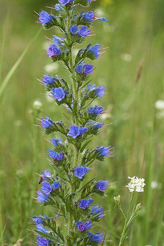 Vipérine commune (Echium vulgare): utilisation et propriétés médicinales de la plante.