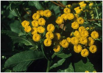 Balsamite (Tanacetum balsamita) : plante utilisée en phytothérapie pour ses propriétés médicinales.