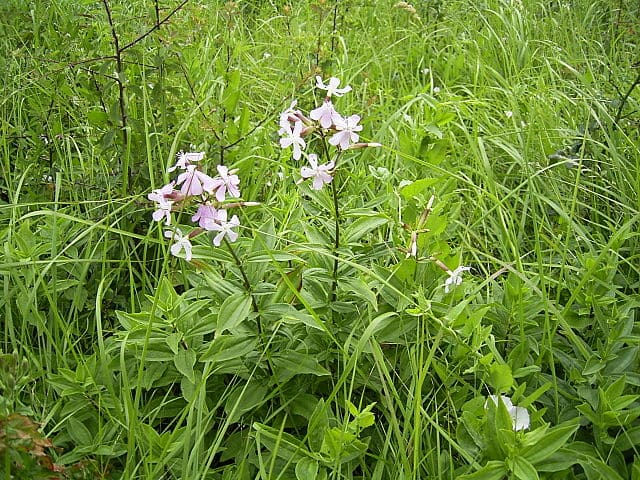 Saponaire officinale ou Saponaria officinalis : plante médicinale utilisée en phytothérapie.