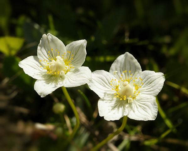 Parnassie des marais (Parnassia palustris) : bienfaits et utilisation de cette plante médicinale.