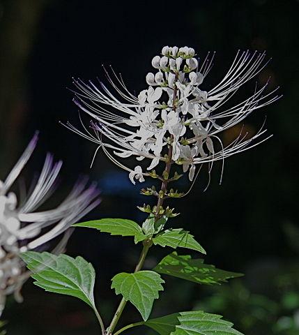 Orthosiphon Stamineus: bienfaits, danger et posologie de cette plante médicinale.