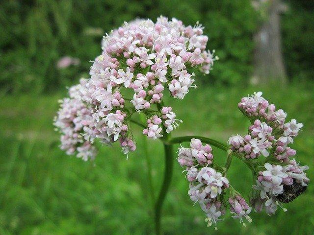L'élixir floral de Valériane, élaboré selon les recommandations du docteur Erdward Bach.