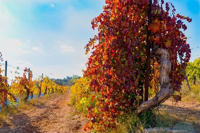 Vigne rouge (Vitis Vinifera): arbuste aux nombreux bienfaits et vertus médicinales.