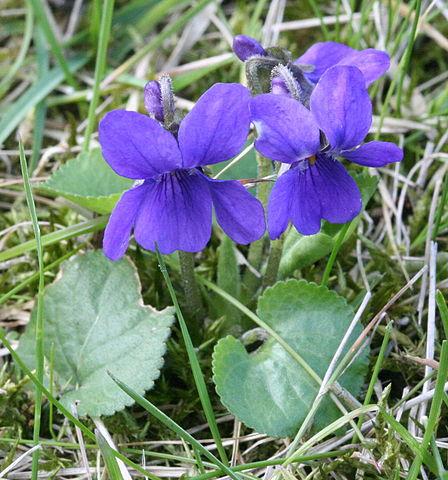 Violette odorante (Viola odorata) : plante médicinale utilisée pour ses bienfaits sur la santé.