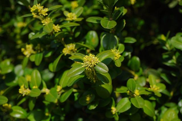 L'élixir floral de Buis, élaboré selon les recommandations du docteur Erdward Bach.
