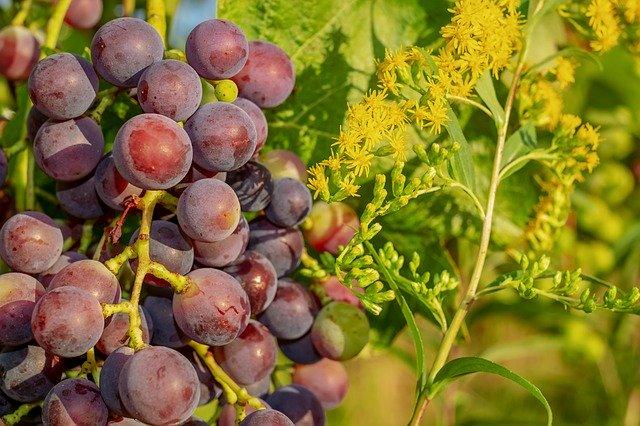 Vigne rouge : bienfaits et utilisation des bourgeons.