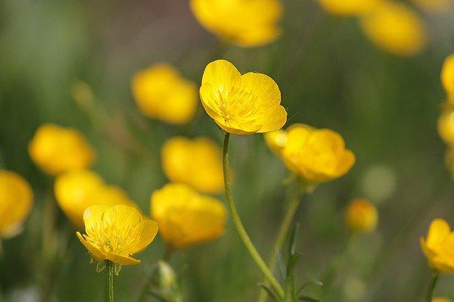 L'élixir floral de Bouton d'Or, élaboré selon les recommandations du docteur Erdward Bach.