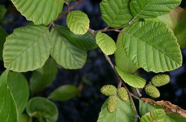 Aulne blanc : propriétés médicinales et utilisation de ses bourgeons.