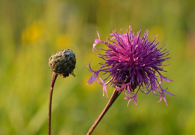 Centaurée scabieuse (centaurea scabiosa) : vertus et utilisation de cette plante médicinale.
