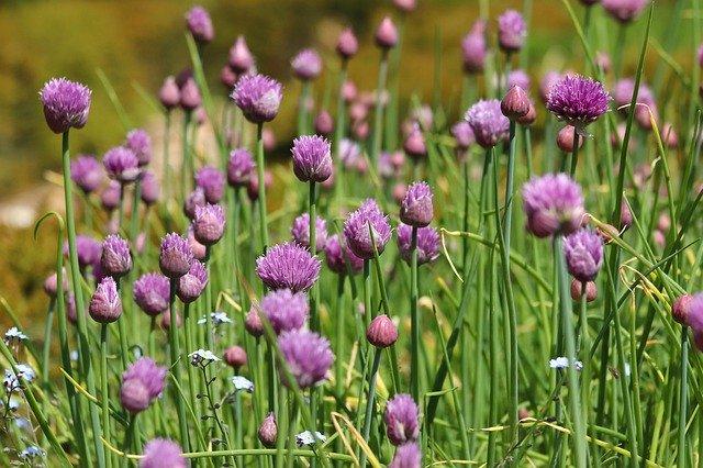 Fleurs et élixir floral d'ail sauvage, élaboré selon les recommandations du docteur Erdward Bach.