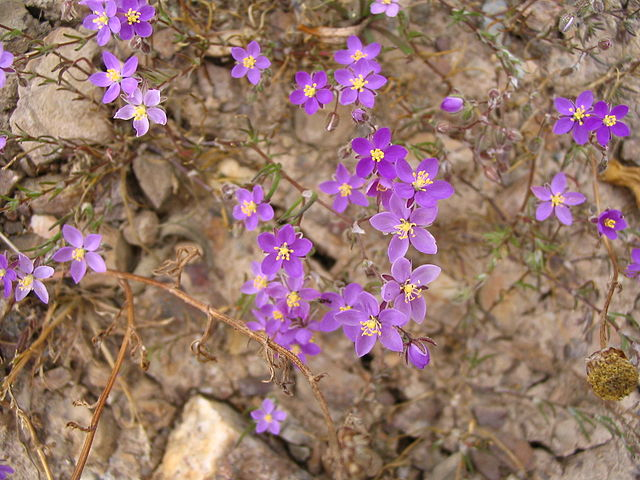 Spergulaire des rochers (Spergularia Rupicola): bienfaits et utilisation de cette plante médicinale.
