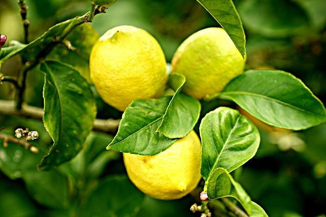 Citronnier : bienfaits et utilisation de ses bourgeons et jeunes pousses (gemmothérapie).