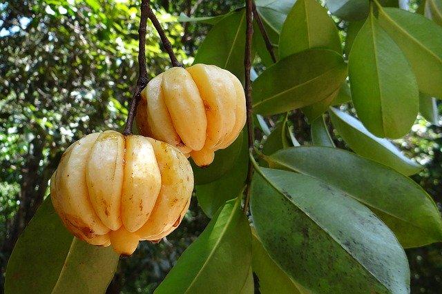Garcinia cambogia : posologie et danger du tamarin de malabar.
