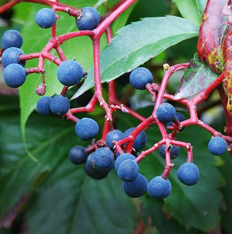 Vigne vierge (gemmothérapie): bienfaits et utilisation des jeunes pousses et bourgeons.