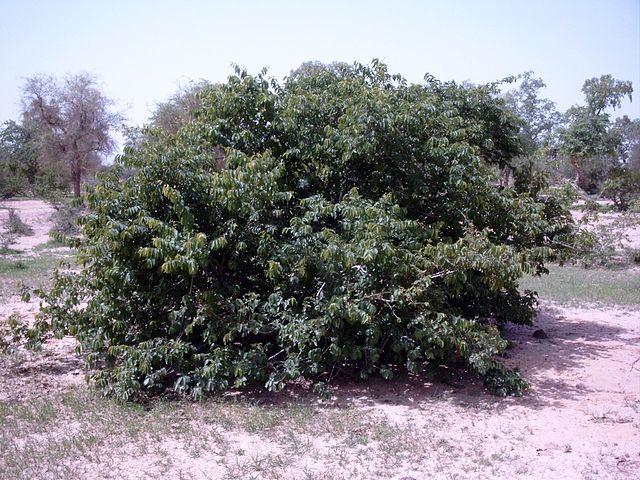 Kinkéliba (Combretum micranthum): plante médicinale aux nombreux bienfaits.