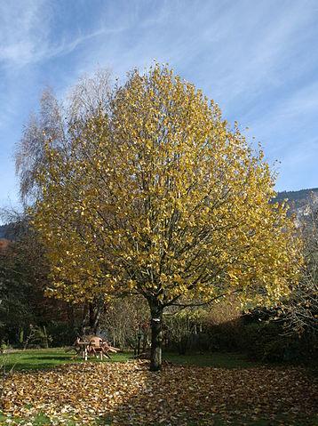 Tilleul (Tilia cordata ): bienfaits et vertus de cet arbre en phytothérapie.