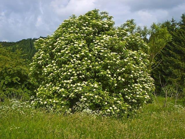 Sureau noir (Sambucus nigra): propriétés et bienfaits de cet arbre en phytothérapie.